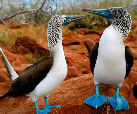 Galapagos-Boobies