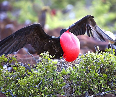 Galapagos Frigatebird
