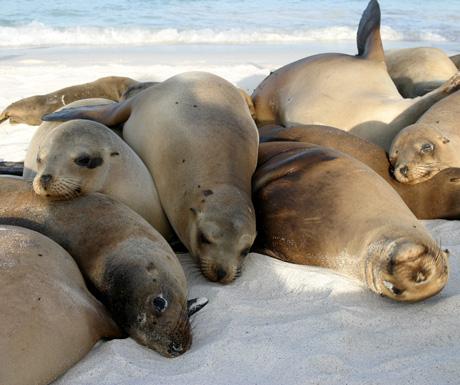 Galapagos-seals