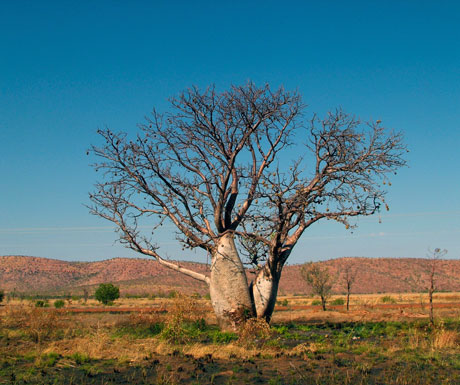 Australia Kakadu and the Kimberley tour - boab tree, Kimberley National Park, Australia
